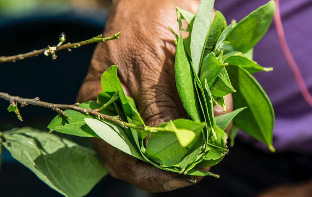 La ley de Galán para regular la coca serviría para poner en marcha el posconflicto