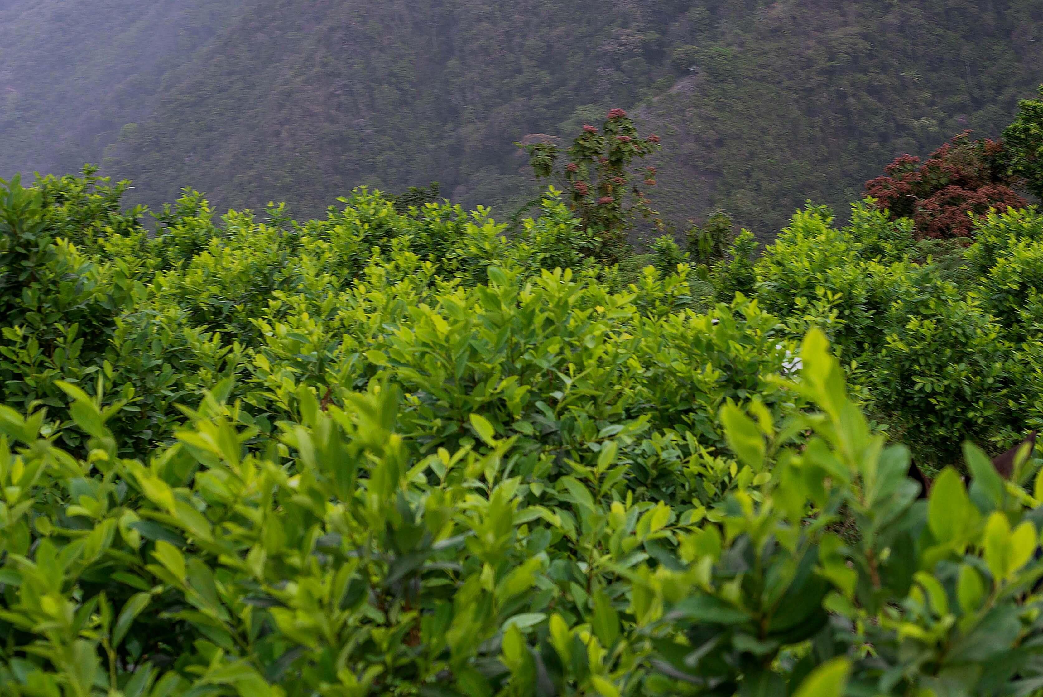 ¿Un campesino podría ser extraditado a Estados Unidos por cultivar coca en Colombia?