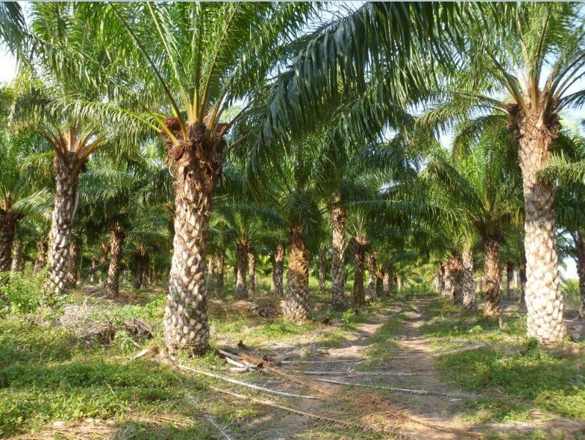 ¿Cuál es la relación entre la palma aceitera y el despojo de tierras?