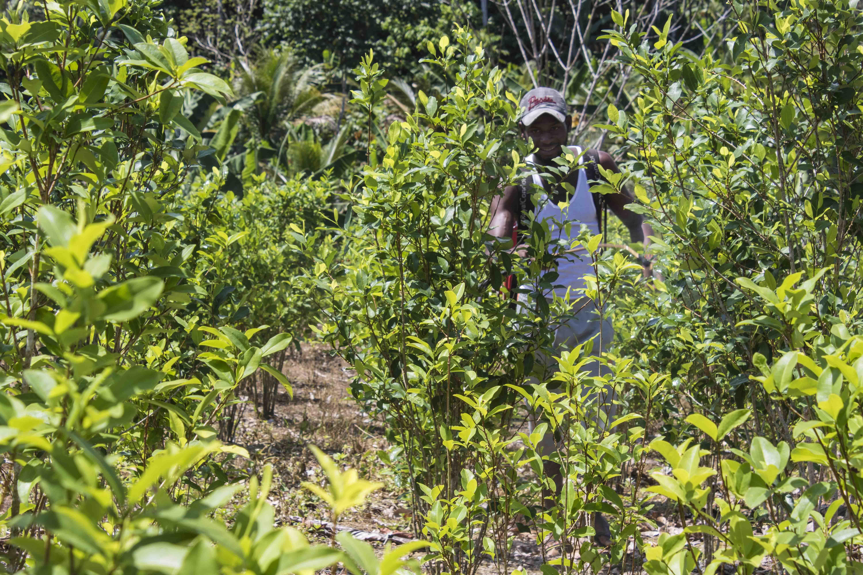 En menos de un año, han asesinado a 31 líderes de sustitución de cultivos