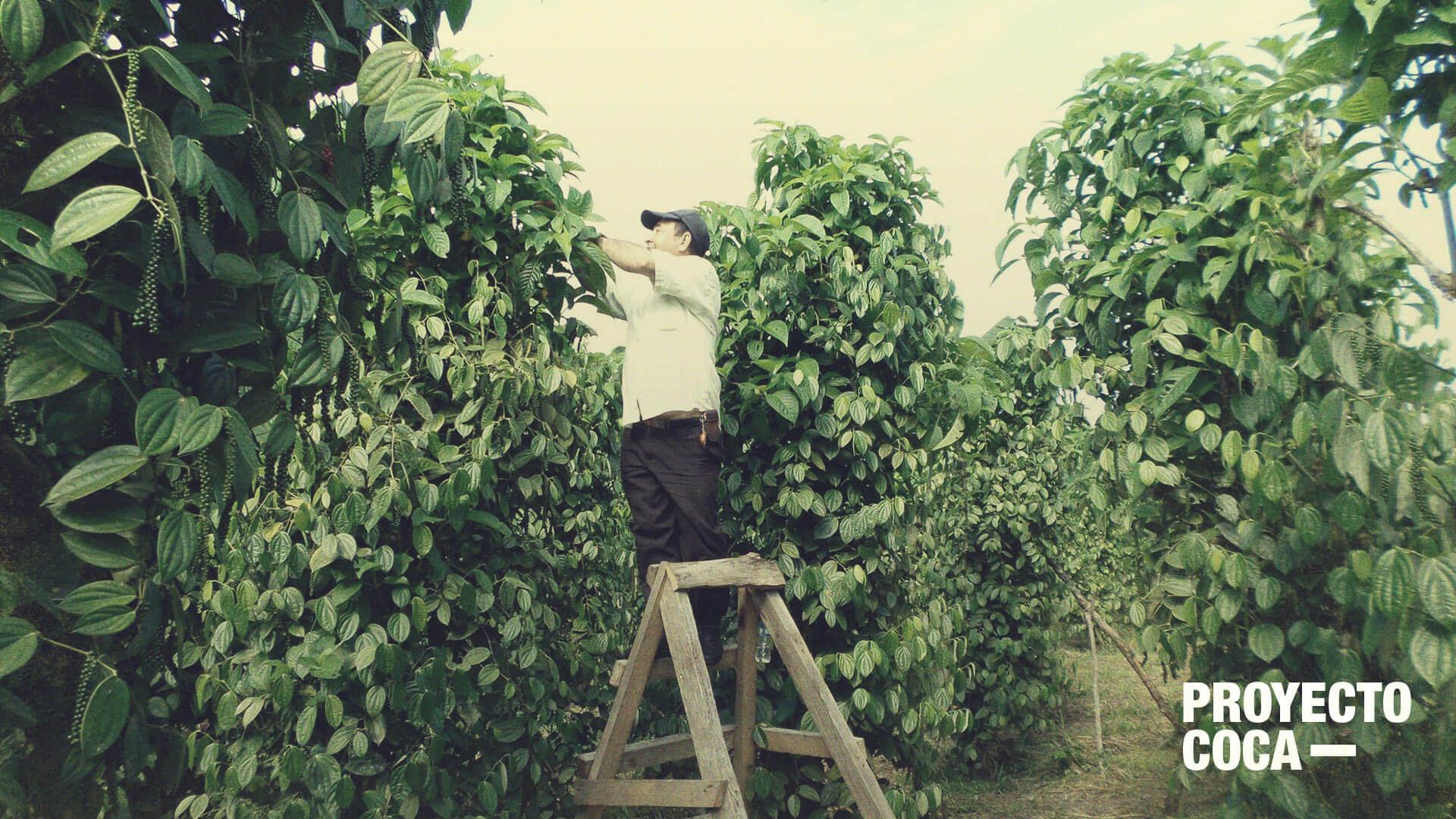 El contrabando está arruinando este caso exitoso de sustitución de coca