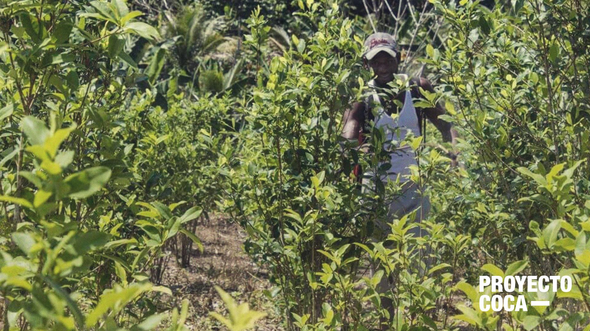 Esta es la resistencia de los campesinos que le apuestan a la sustitución de la coca