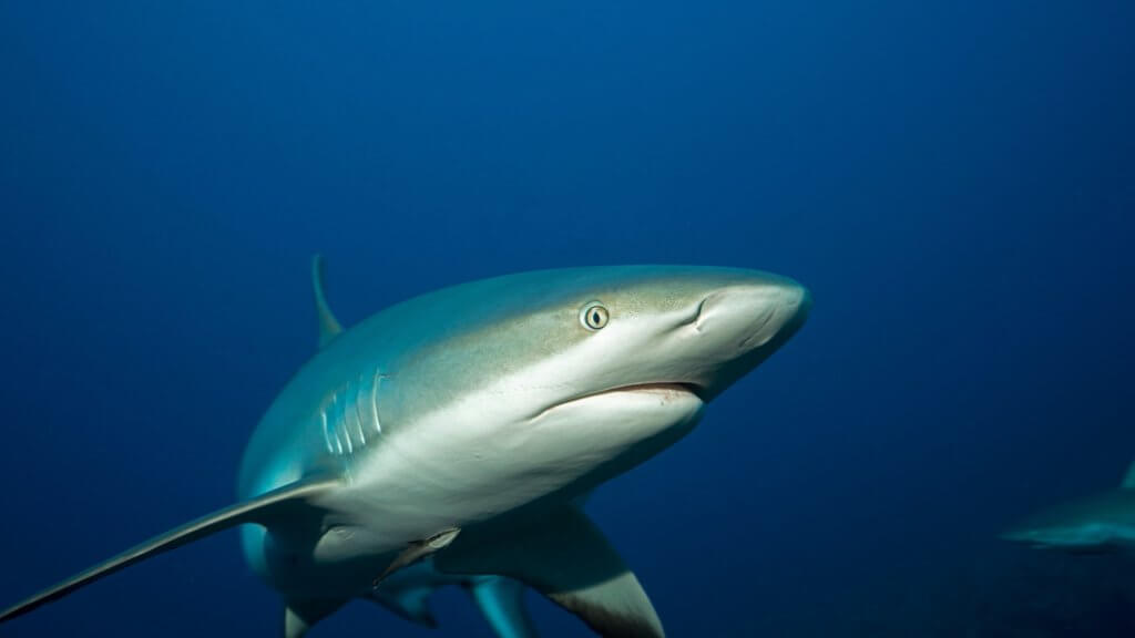 tiburon sedoso